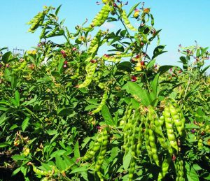 ICIRSAT - Pigeon Pea breeding program assessment