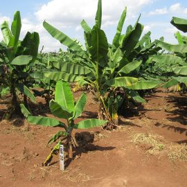 Upcoming assessments of multiple crops in Nigeria