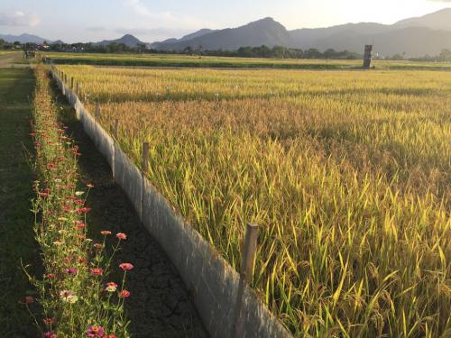 IRRI Rice breeding program
