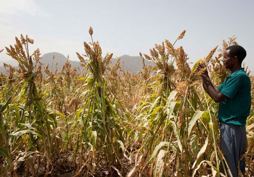 Drought resistant sorghum for Ethiopia