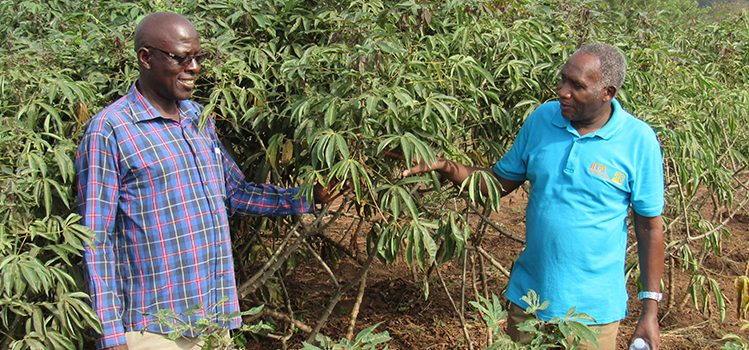 New virus resistant cassava cultivar released by IITA and NARO