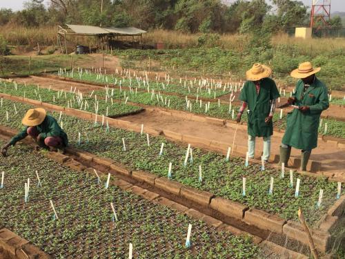 Cassava nurseries, IITA, Ibadan, Nigeria6