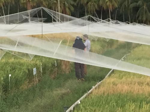 IRRI Rice breeding program